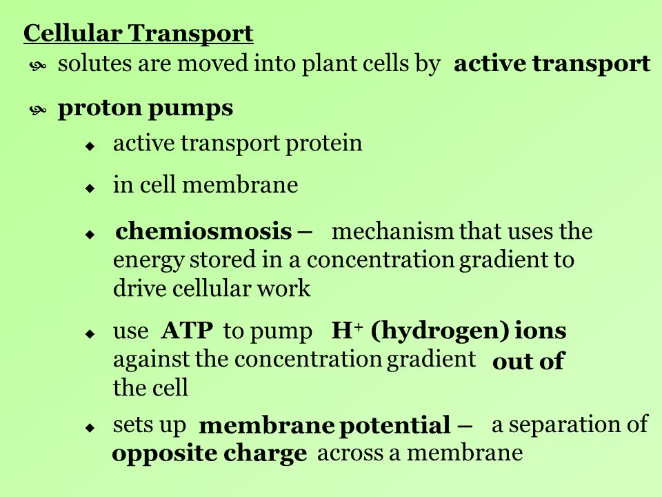 Cellular Transport solutes are moved into plant cells by. active transport. proton pumps. active transport protein.