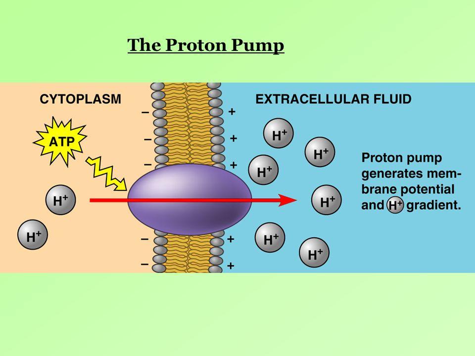 The Proton Pump