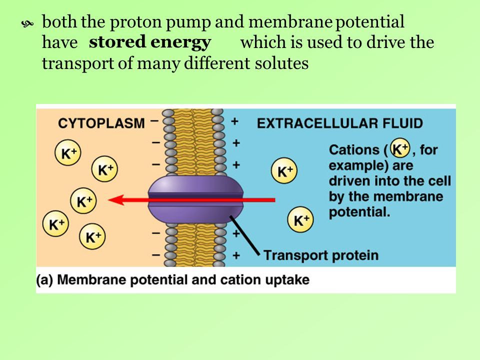 both the proton pump and membrane potential have which is used to drive the transport of many different solutes