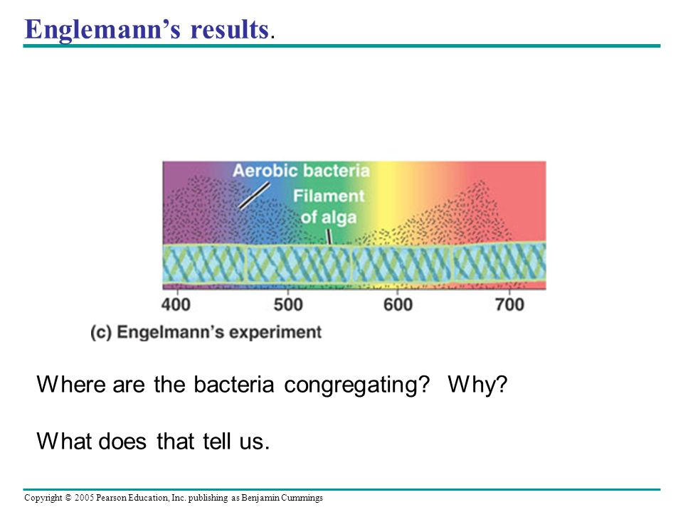 Englemann's results. Where are the bacteria congregating Why