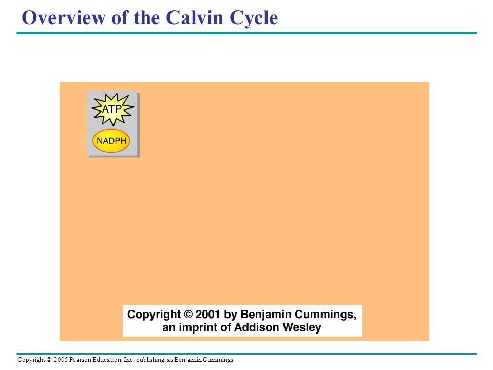 Overview of the Calvin Cycle