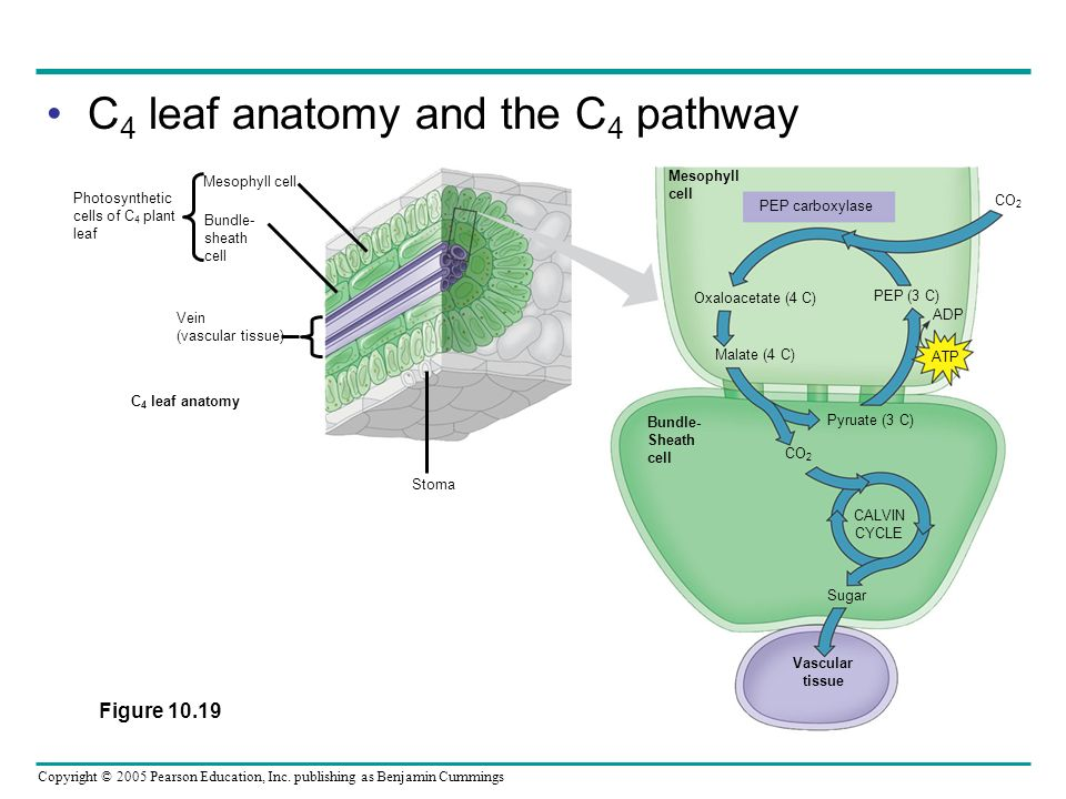 C4 leaf anatomy and the C4 pathway