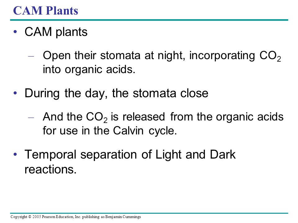 During the day, the stomata close