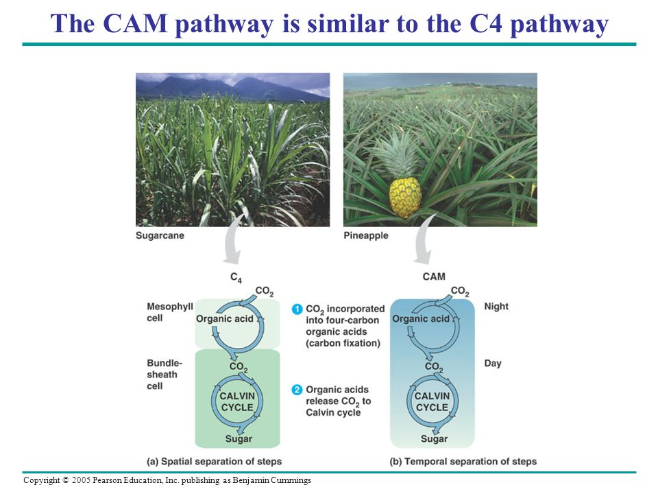 The CAM pathway is similar to the C4 pathway