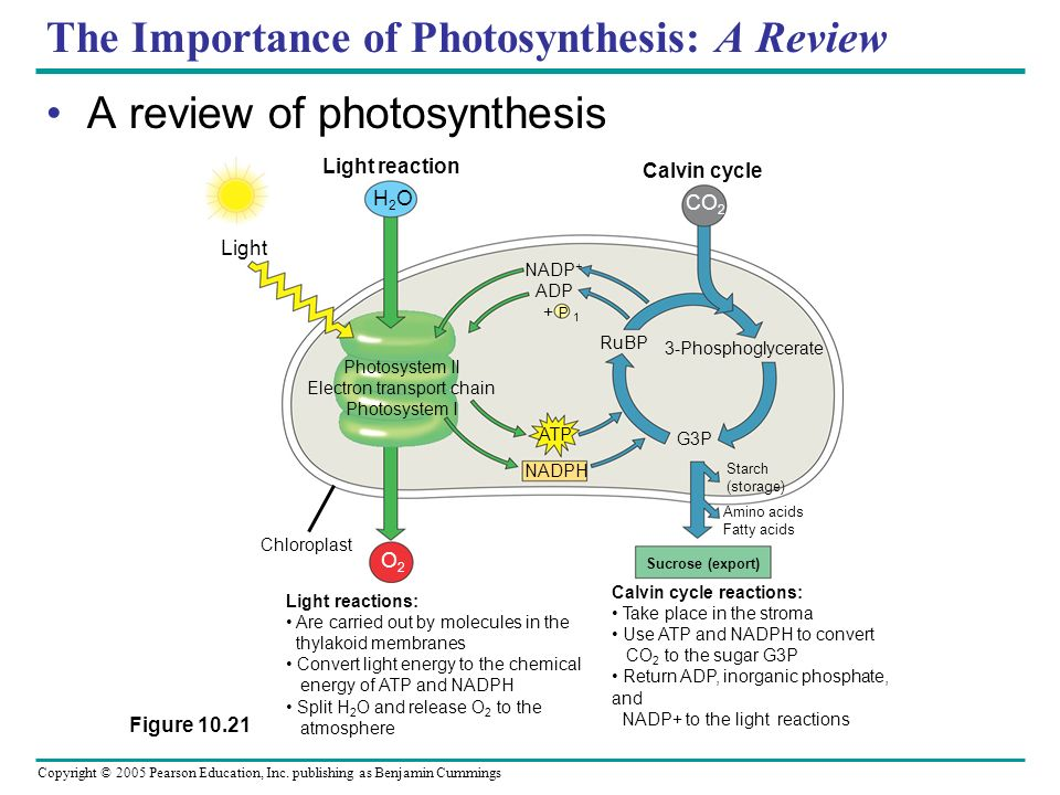 The Importance of Photosynthesis: A Review