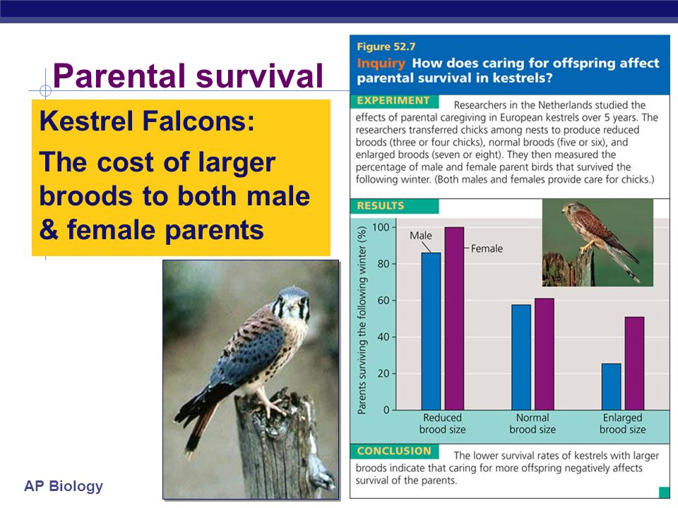 Parental survival Kestrel Falcons: