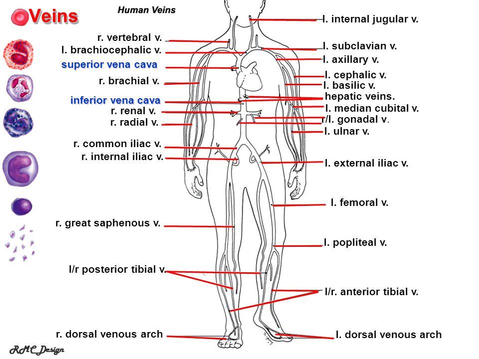 Veins l. internal jugular v. r. vertebral v. l. subclavian v.