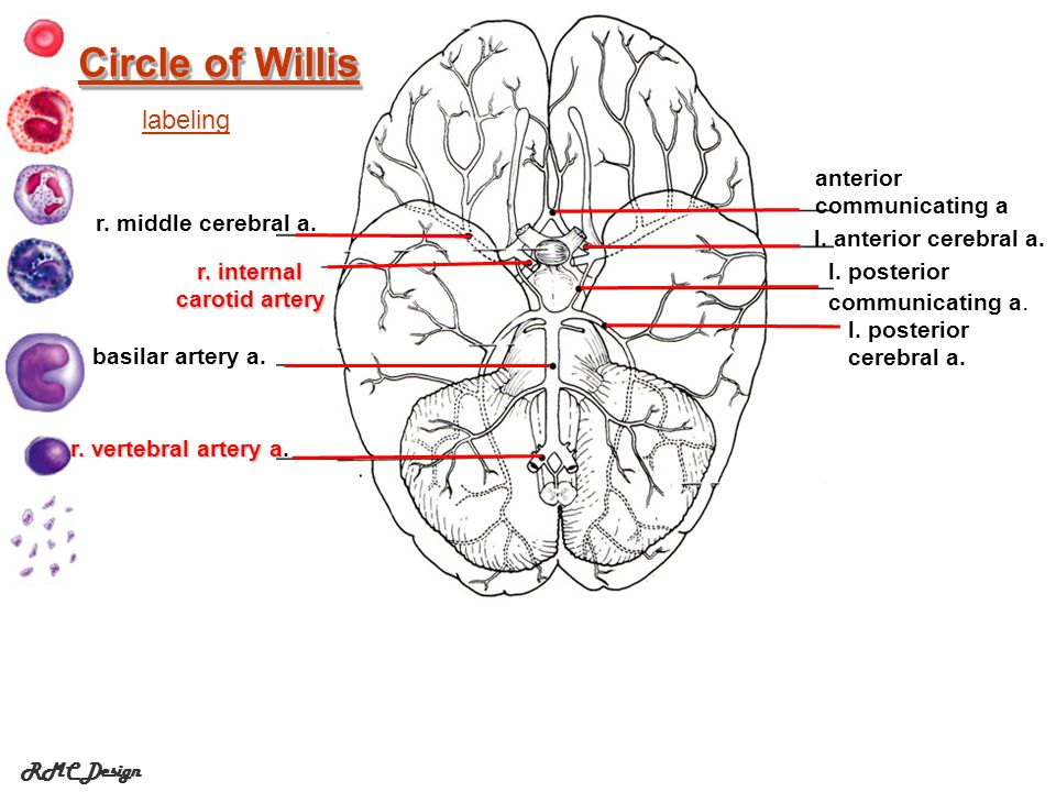 Circle of Willis labeling anterior communicating a