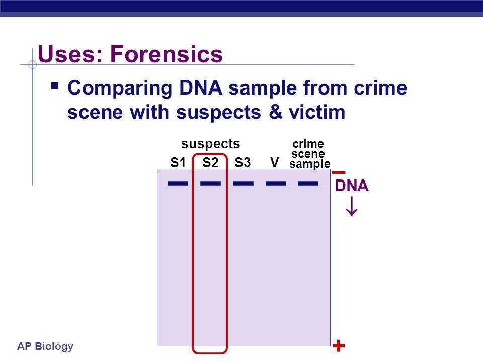 Uses: Forensics Comparing DNA sample from crime scene with suspects & victim. suspects. crime scene sample.