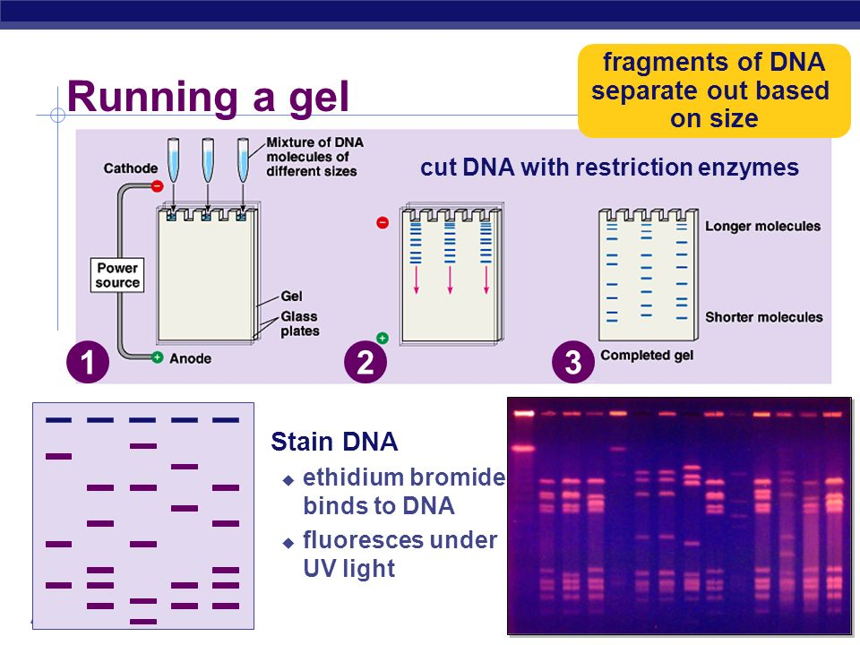 fragments of DNA separate out based on size