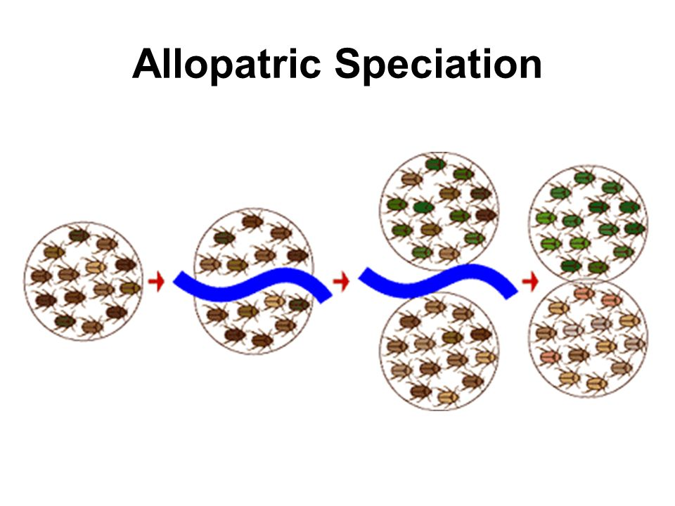 Allopatric Speciation