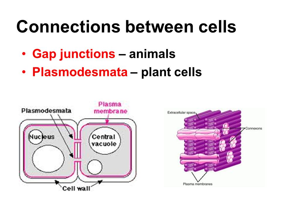 Connections between cells