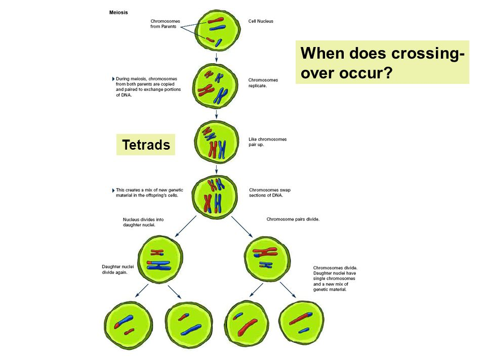 When does crossing- over occur Tetrads