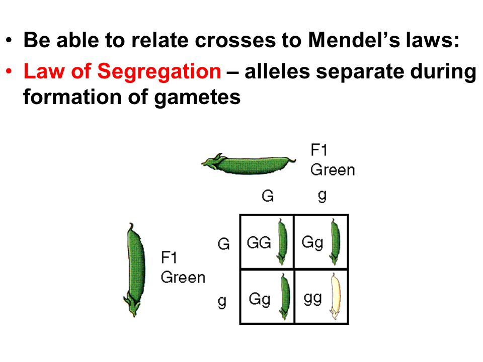 Be able to relate crosses to Mendel's laws: