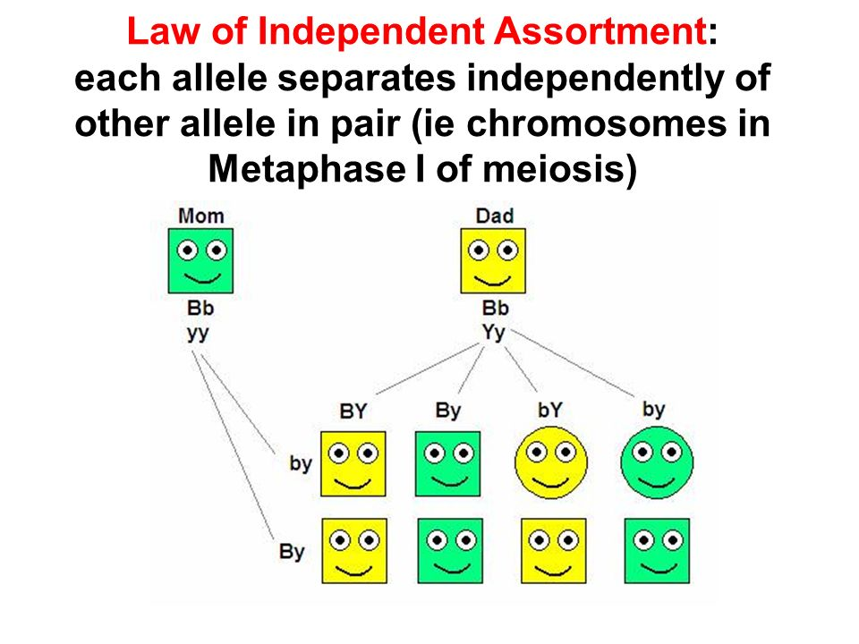 Law of Independent Assortment: each allele separates independently of other allele in pair (ie chromosomes in Metaphase I of meiosis)