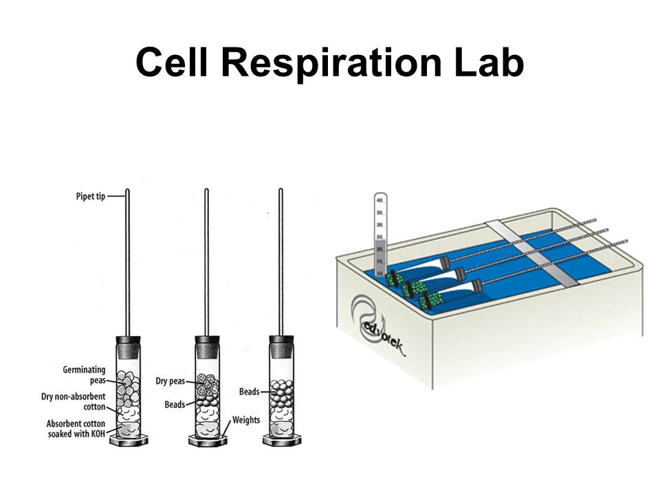 Cell Respiration Lab