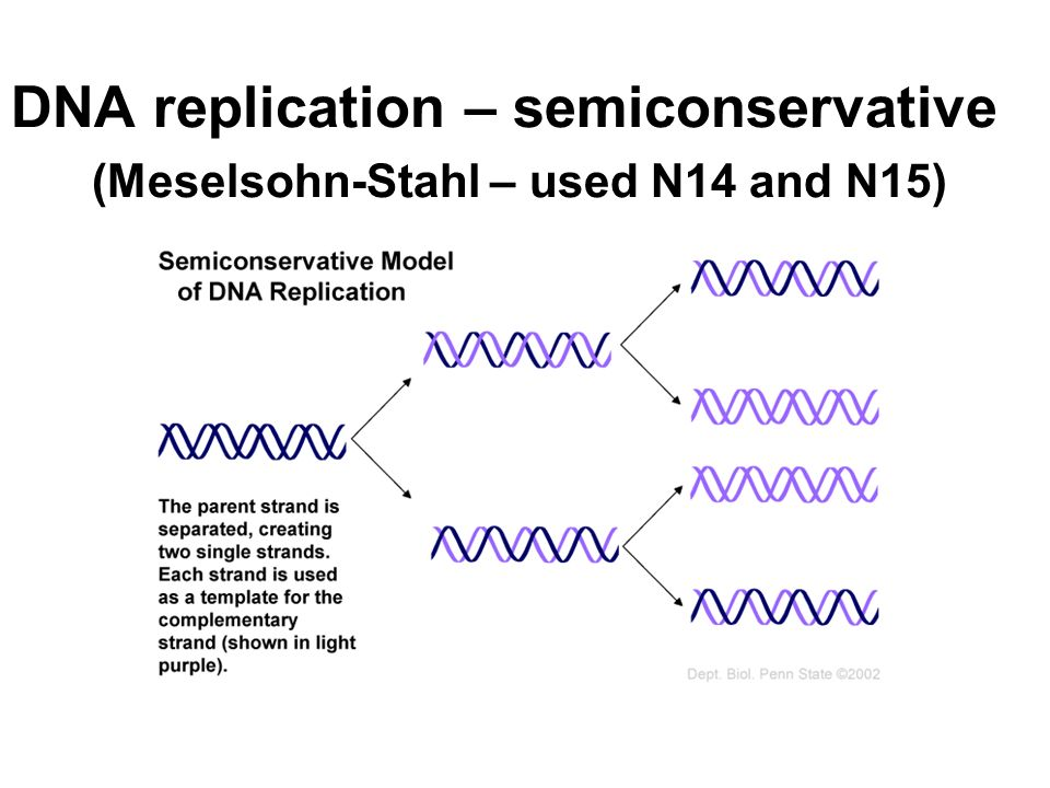 DNA replication – semiconservative (Meselsohn-Stahl – used N14 and N15)