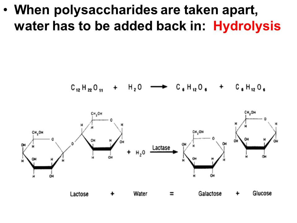 When polysaccharides are taken apart, water has to be added back in: Hydrolysis