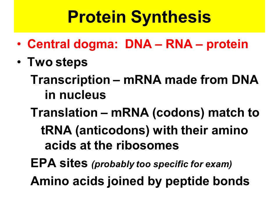 Protein Synthesis Central dogma: DNA – RNA – protein Two steps