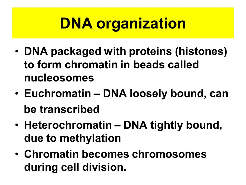 DNA organization DNA packaged with proteins (histones) to form chromatin in beads called nucleosomes.