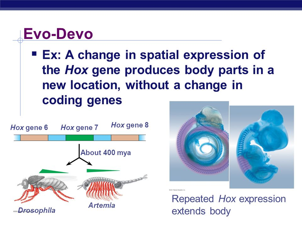 Evo-Devo Ex: A change in spatial expression of the Hox gene produces body parts in a new location, without a change in coding genes.