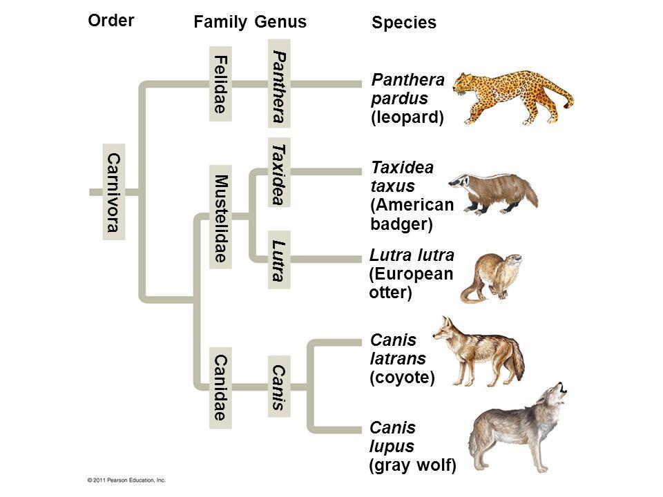 Order Family Genus Species Panthera pardus (leopard) Felidae Panthera