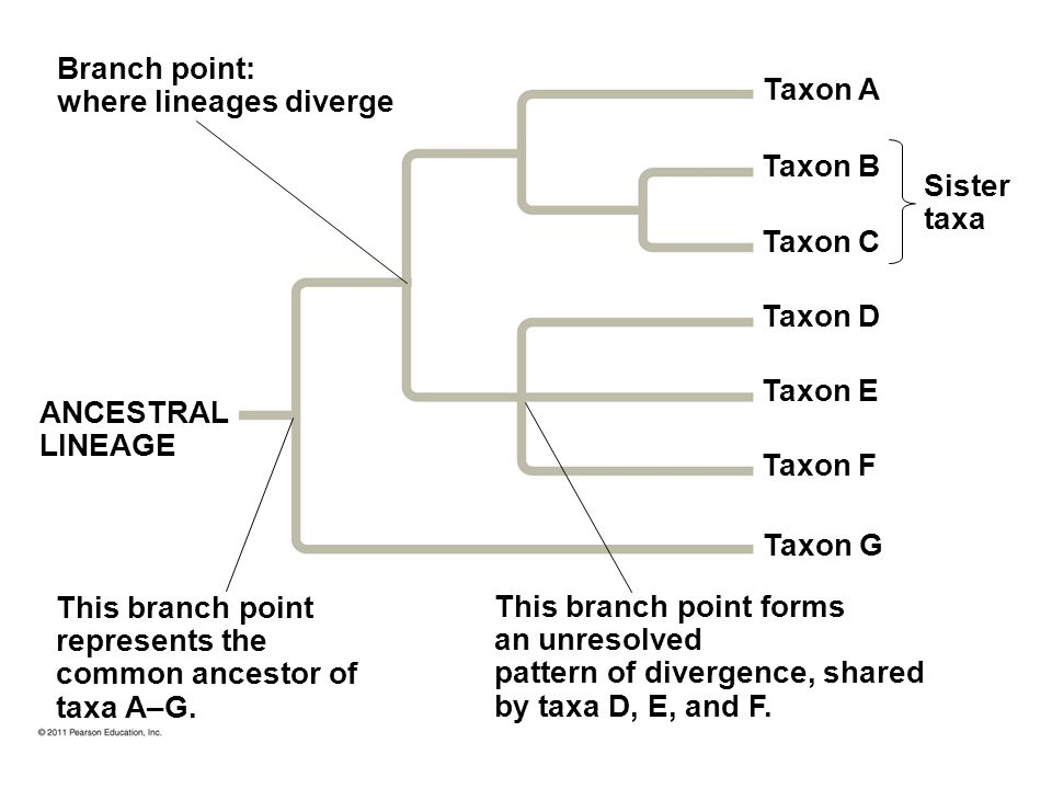 where lineages diverge Taxon A