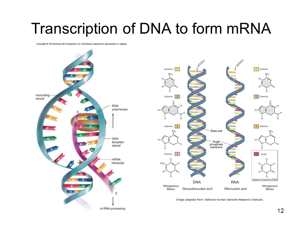 Transcription of DNA to form mRNA