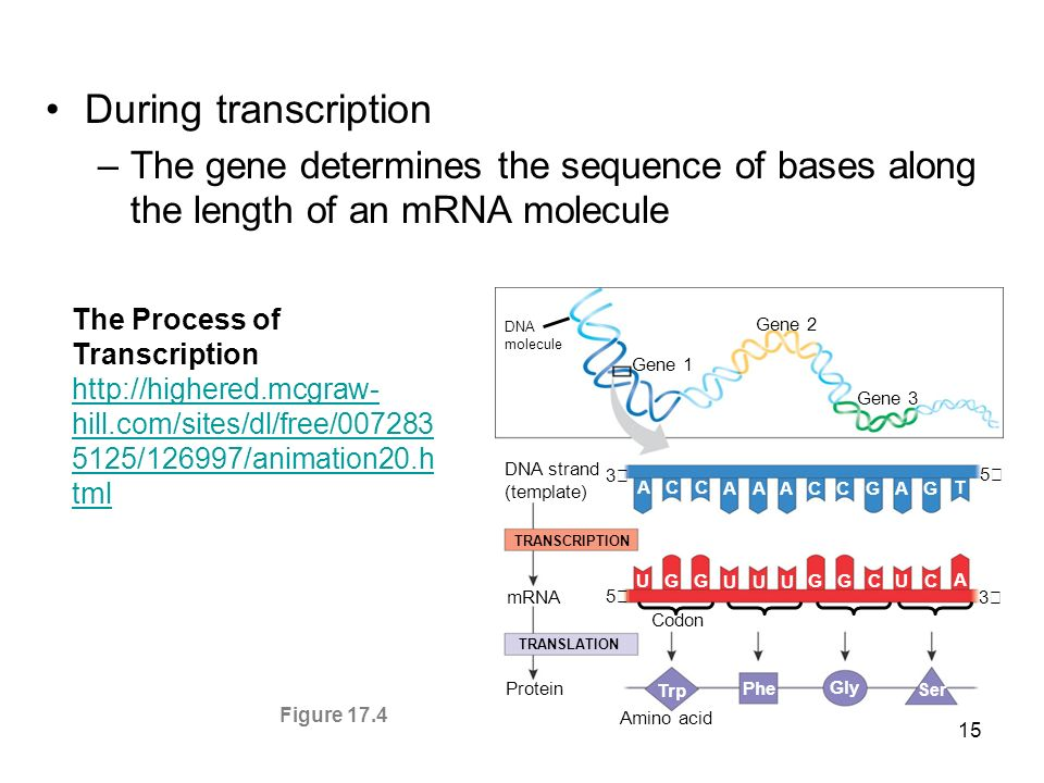 During transcriptionThe gene determines the sequence of bases along the length of an mRNA molecule.