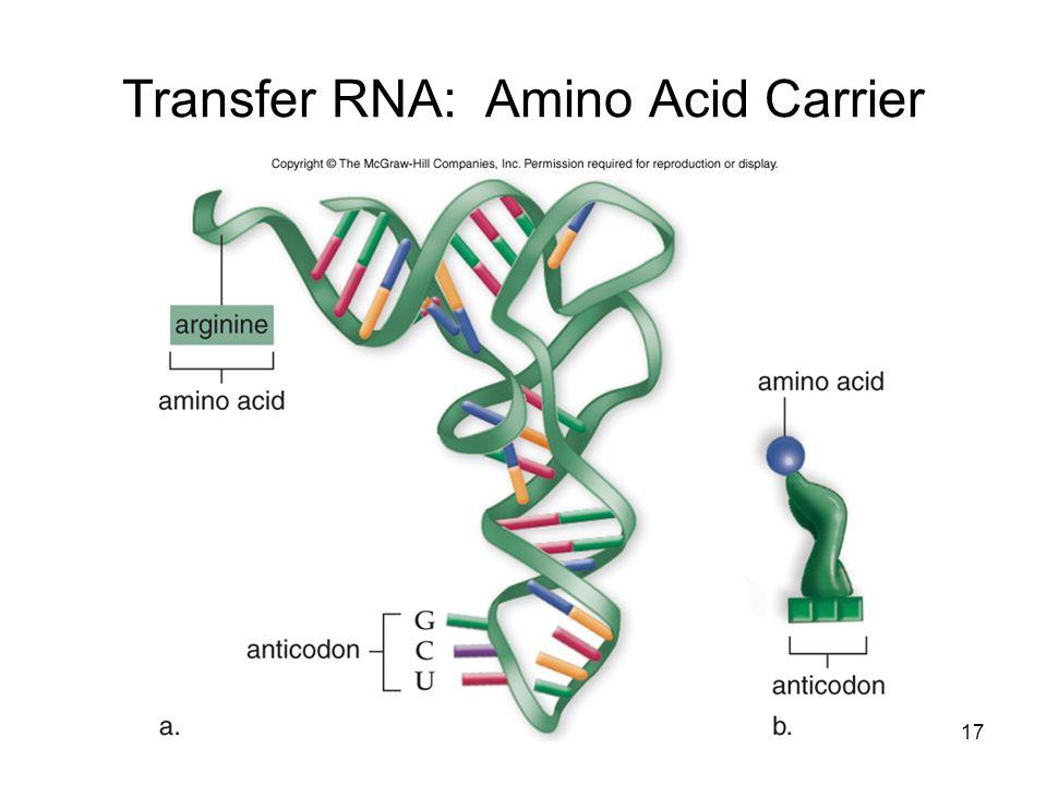 Transfer RNA: Amino Acid Carrier