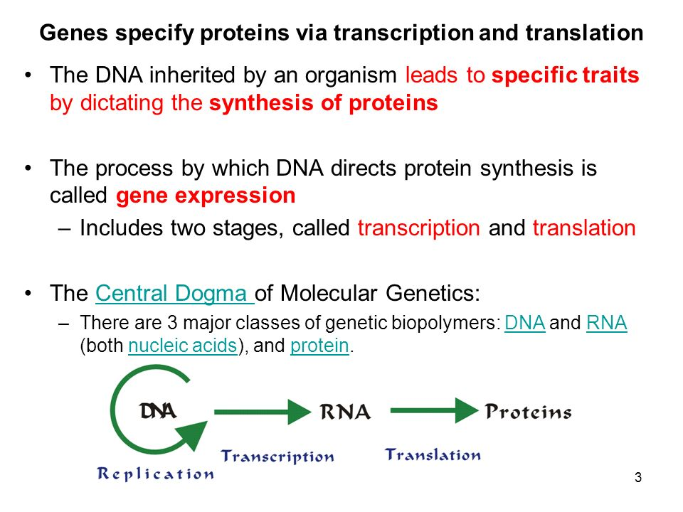 Genes specify proteins via transcription and translation