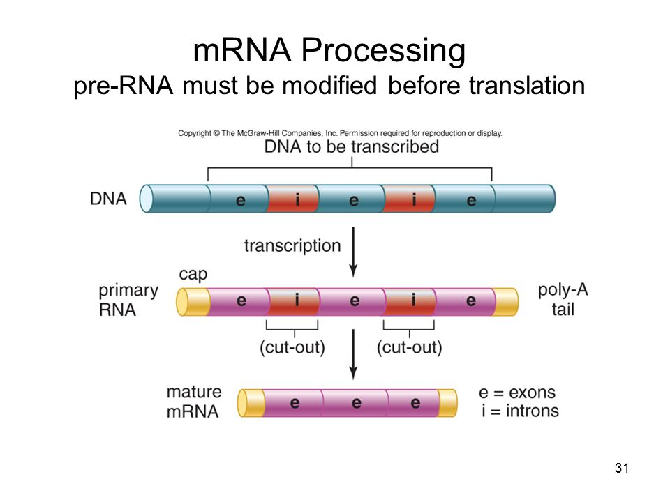 mRNA Processing pre-RNA must be modified before translation
