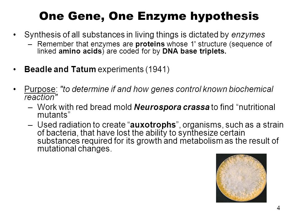 One Gene, One Enzyme hypothesis