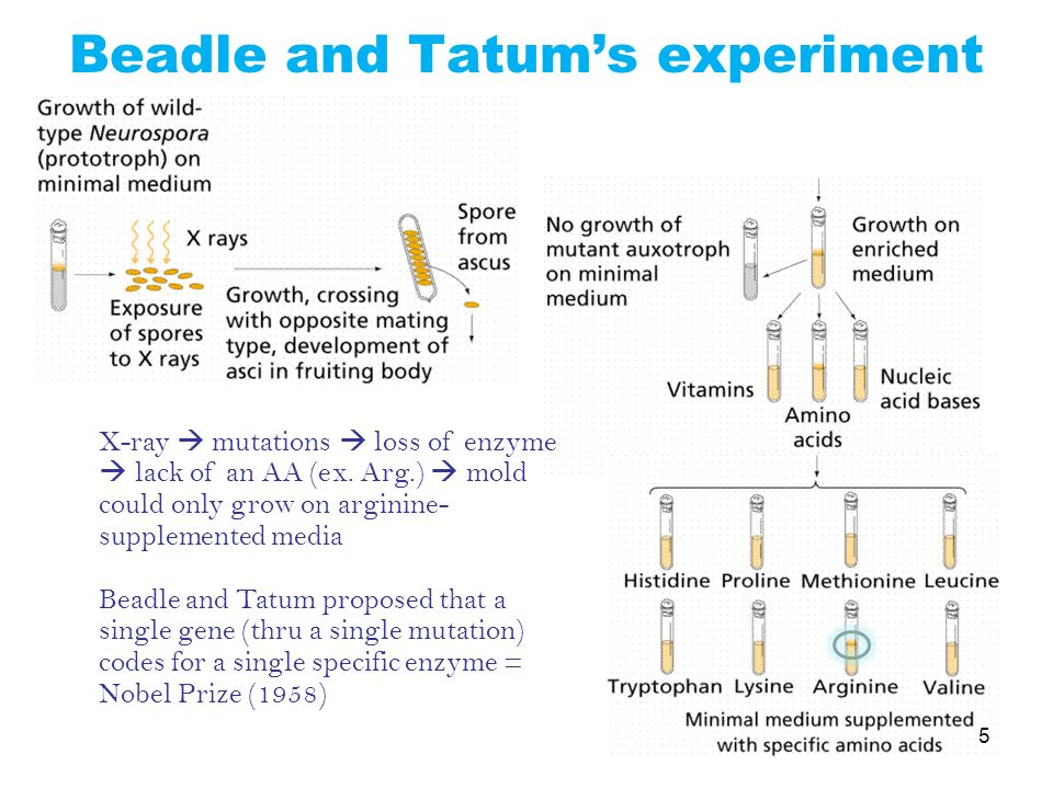 Beadle and Tatum's experiment