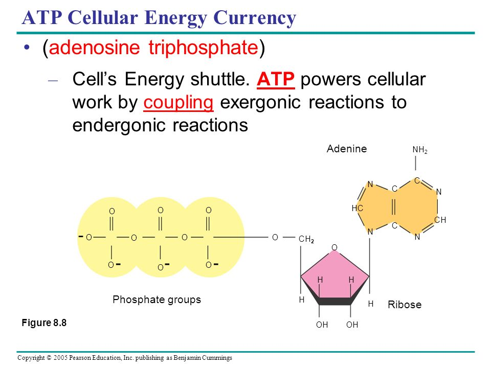 ATP Cellular Energy Currency