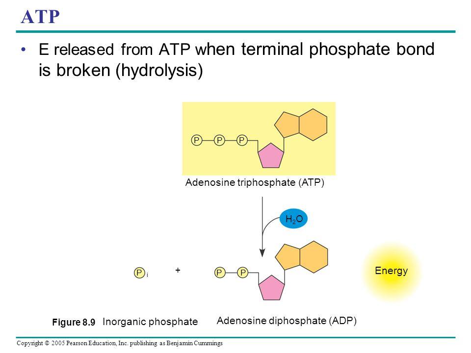ATP E released from ATP when terminal phosphate bond is broken (hydrolysis) Figure 8.9. P. Adenosine triphosphate (ATP)