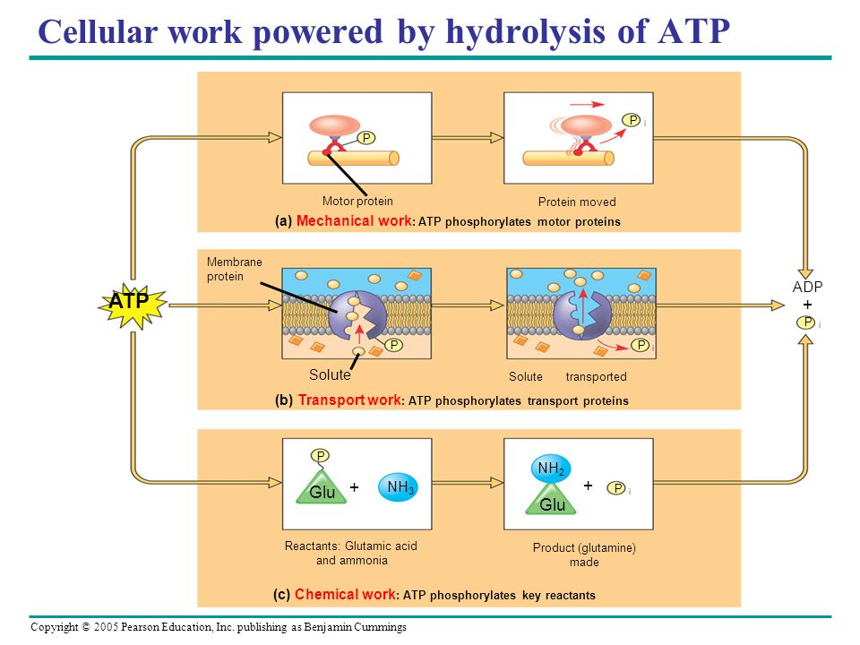 Cellular work powered by hydrolysis of ATP