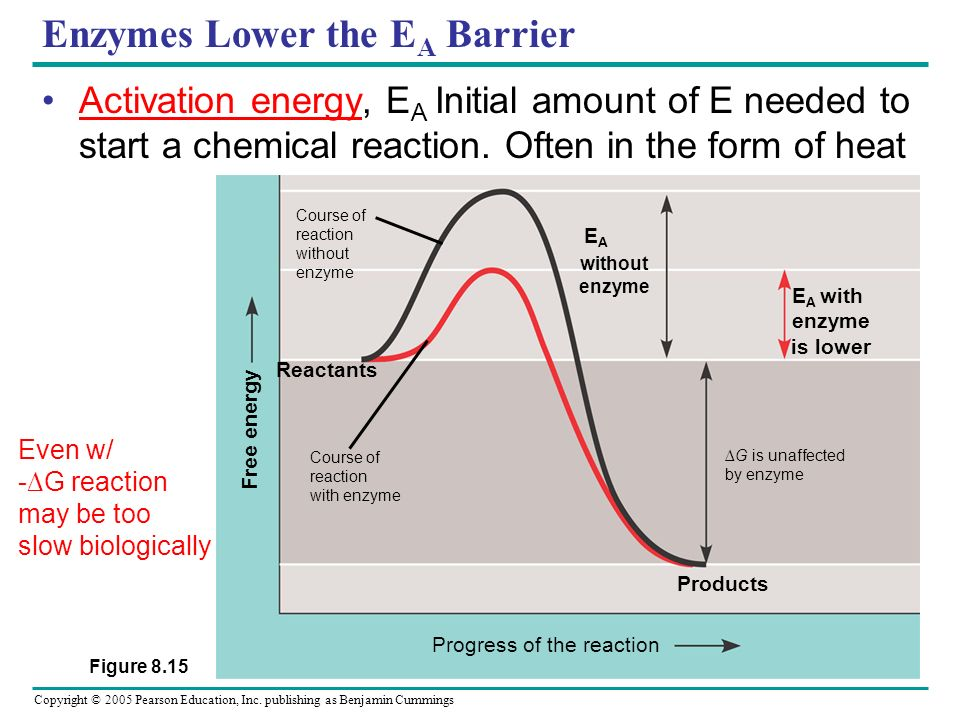 Enzymes Lower the EA Barrier