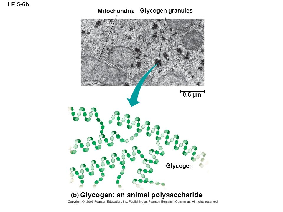 Glycogen: an animal polysaccharide