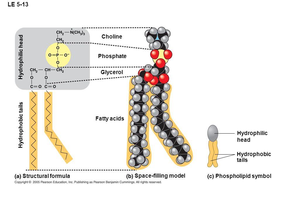 LE 5-13 Choline Hydrophilic head Phosphate Glycerol Hydrophobic tails