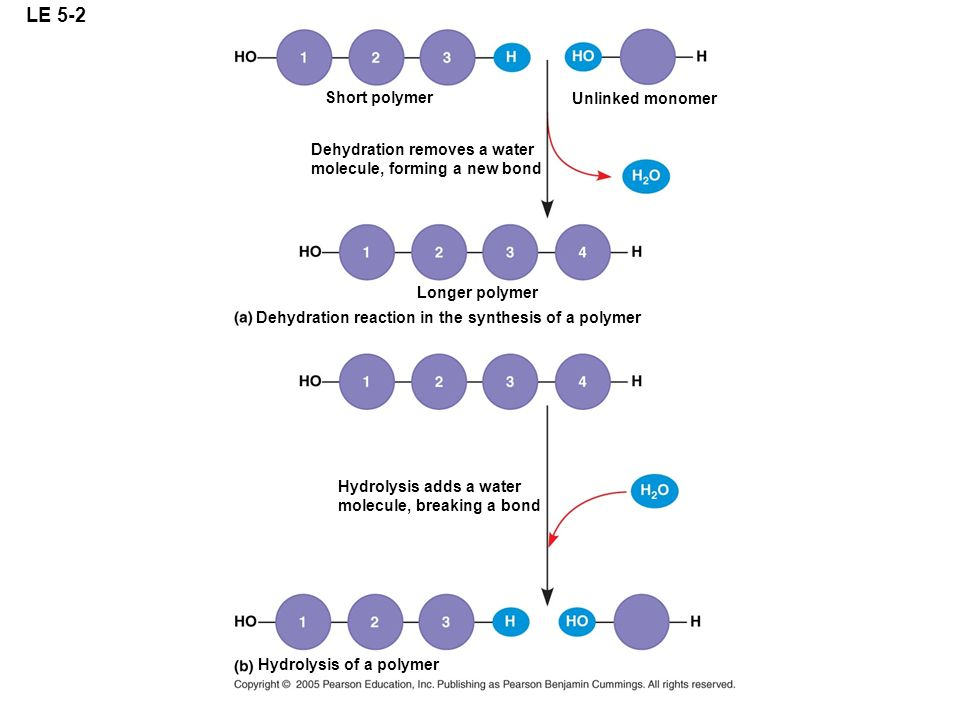 LE 5-2 Short polymer Unlinked monomer Dehydration removes a water