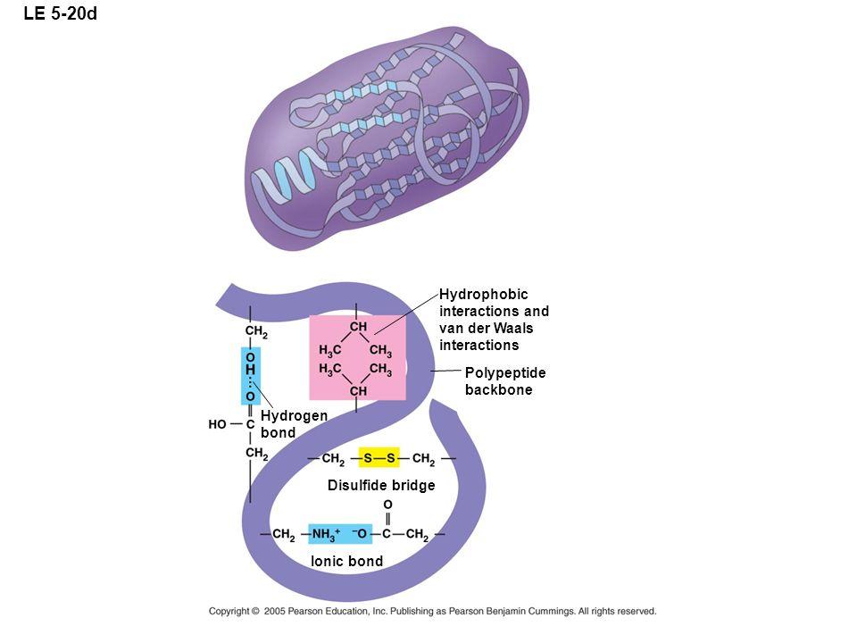 LE 5-20d Hydrophobic interactions and van der Waals interactions