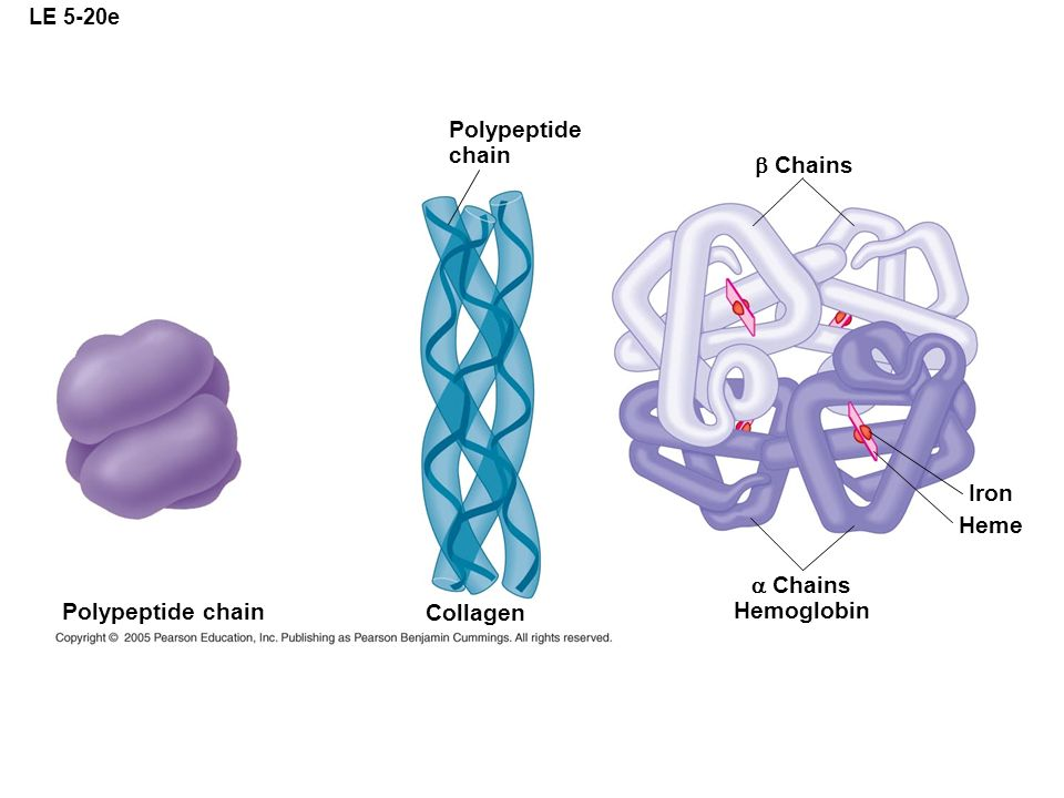 Polypeptide chain b Chains Iron Heme a Chains Hemoglobin