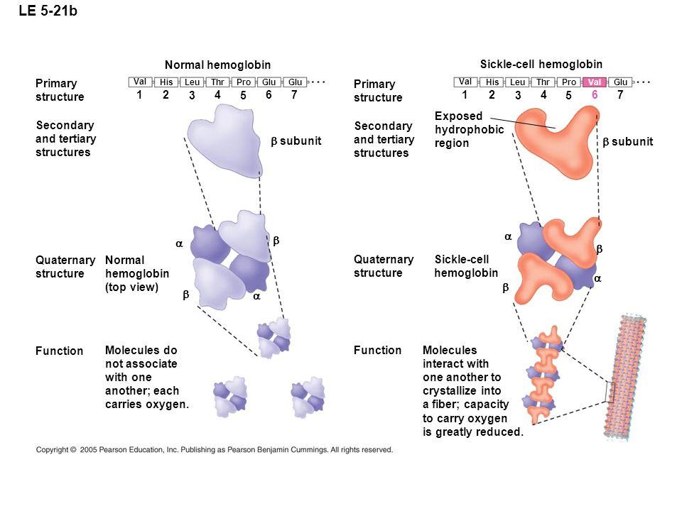 LE 5-21b Normal hemoglobin Sickle-cell hemoglobin Primary structure