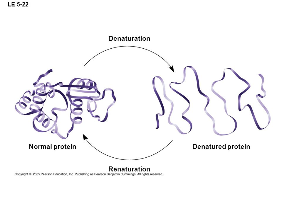 LE 5-22 Denaturation Normal protein Denatured protein Renaturation