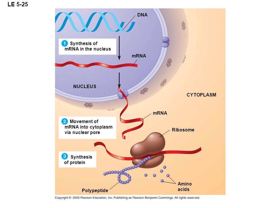 LE 5-25 DNA Synthesis of mRNA in the nucleus mRNA NUCLEUS CYTOPLASM