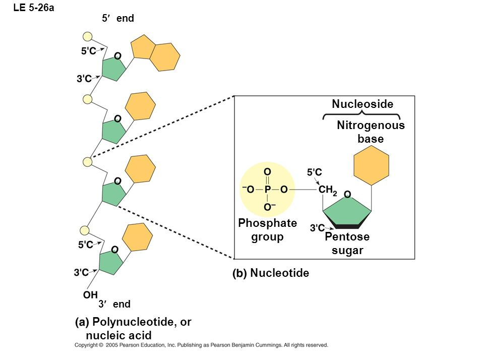 Nitrogenous base Phosphate group Pentose sugar
