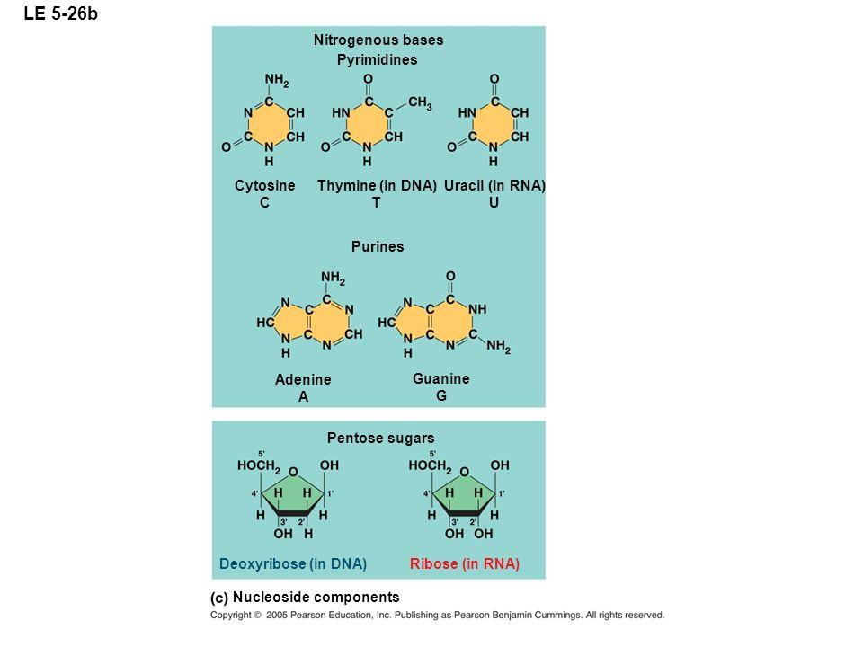 LE 5-26b Nitrogenous bases Pyrimidines Cytosine C Thymine (in DNA) T