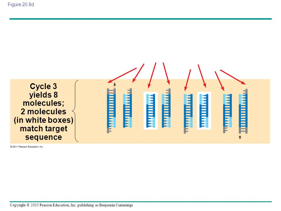 Figure 20.8d Cycle 3 yields 8 molecules; 2 molecules (in white boxes) match target sequence.