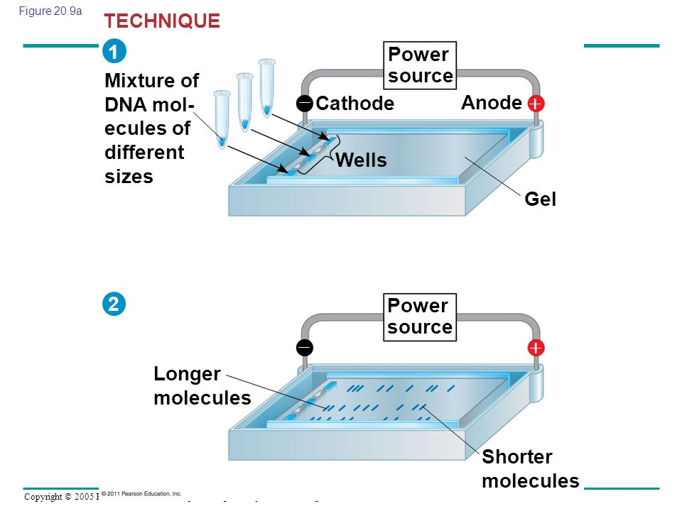 Mixture of DNA mol- ecules of different sizes  Cathode Anode 